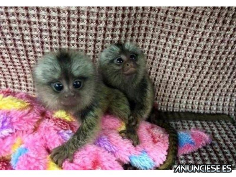 2 Adorables monos titi disponible