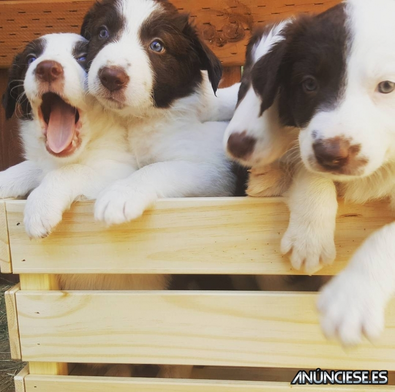 Lovely Border Collie puppies,