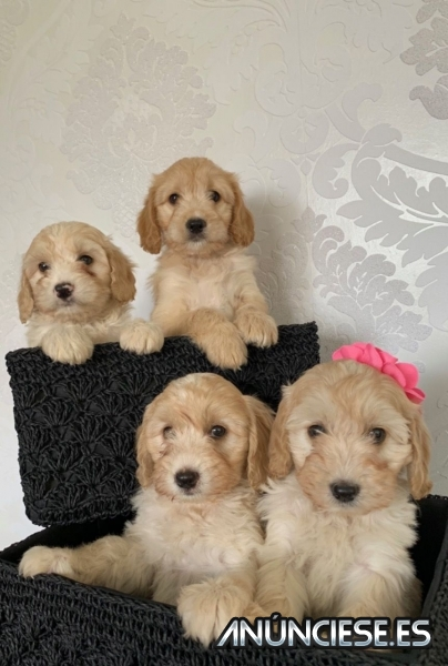 Lovely Cockapoo puppies,